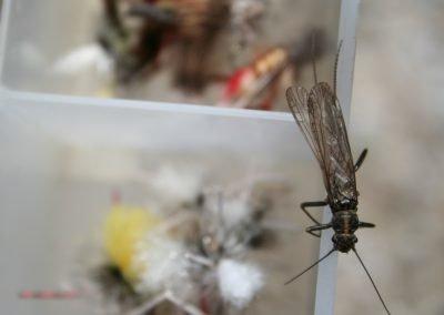 Bitterroot Stonefly